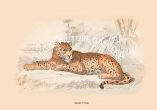 Jaguar, young